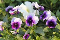 紫白色的小花丛