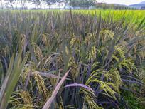 彩色稻米田