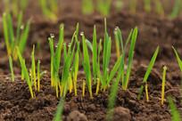 出土不久的小麦嫩芽挂满露珠