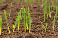 出土的小麦嫩芽