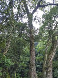 高大粗壮大树