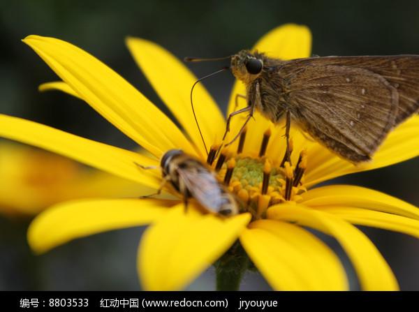 蝴蝶和蜜蜂同采一朵花