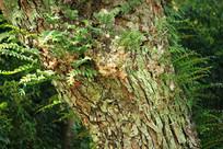 寄生树干植物