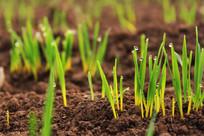 麦地里出土的小麦芽