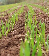 麦田里出土的小麦嫩芽