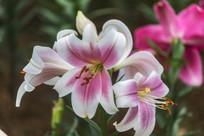 美丽的粉色香水百合