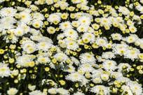 盛开的黄山贡菊