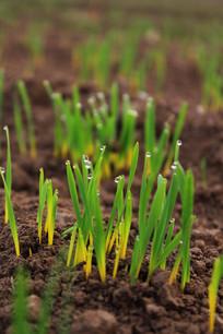 小麦嫩芽挂满露珠