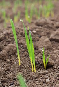 小麦嫩芽尖上挂满露珠
