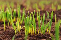 小麦幼苗和露珠高清图