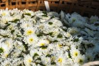 新鲜的黄山贡菊