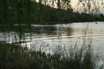 傍晚湖边的柳树林