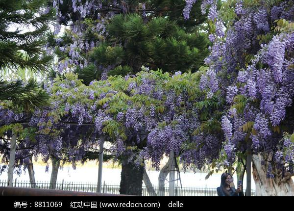 挂满枝头的蓝花楹图片