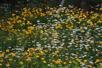 黄色与白色的格桑花