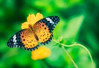 落脚的蝴蝶