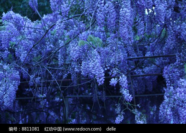 梦幻漂亮的蓝花楹图片