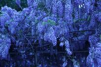 梦幻漂亮的蓝花楹