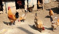 农村家庭混养的土鸡