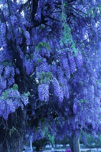 缀满枝头的紫色繁星