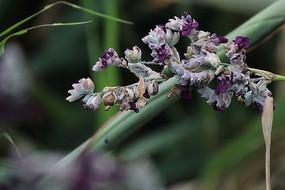 紫色小花上采蜜的蜜蜂特写