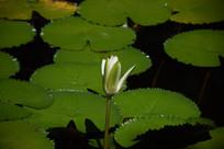 白色睡莲花骨朵绿色莲叶