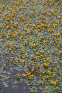 池塘中的小黄花特写