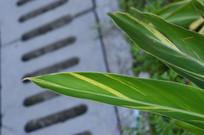 花叶良姜叶子图片