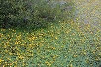 湖水中浮萍上开满黄色的小花
