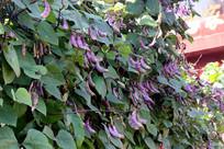 农村门前种植的扁豆