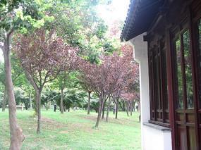 有红叶的树林与古建筑