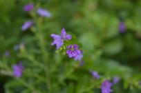 紫花满天星摄影
