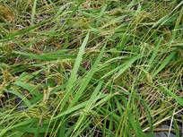 被风吹倒的糯米稻谷