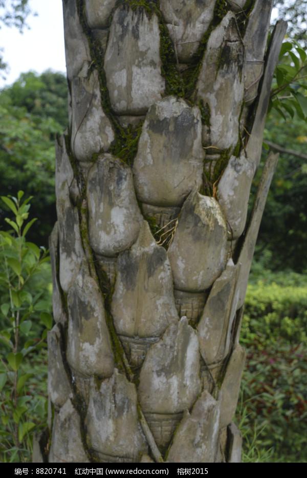 贝叶棕树干图片