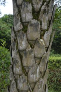 贝叶棕树干