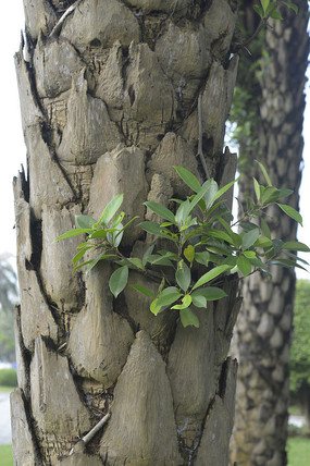 贝叶棕树干特写