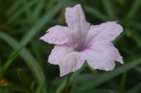 粉花芦莉近拍图