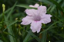 粉花芦莉素材图片
