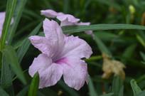 粉花芦莉图