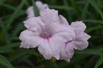 粉色花的人字草