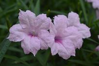 花期长的粉花芦莉