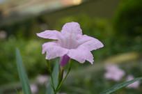 花姿幽美的的粉花芦莉
