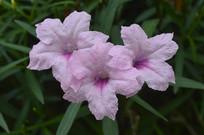 花姿幽美的芦莉草
