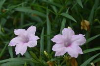 两朵粉花芦莉