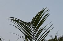 软叶刺葵叶子