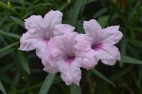 三朵粉花翠芦莉
