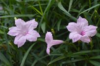少数罕见的翠芦莉花