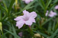 盛开的粉花芦莉