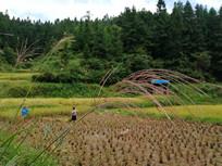 收割稻谷的村民