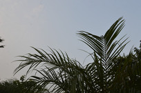 天空下的美丽针葵枝叶