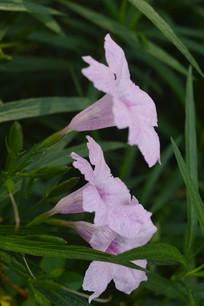 庭园美化植物粉花芦莉